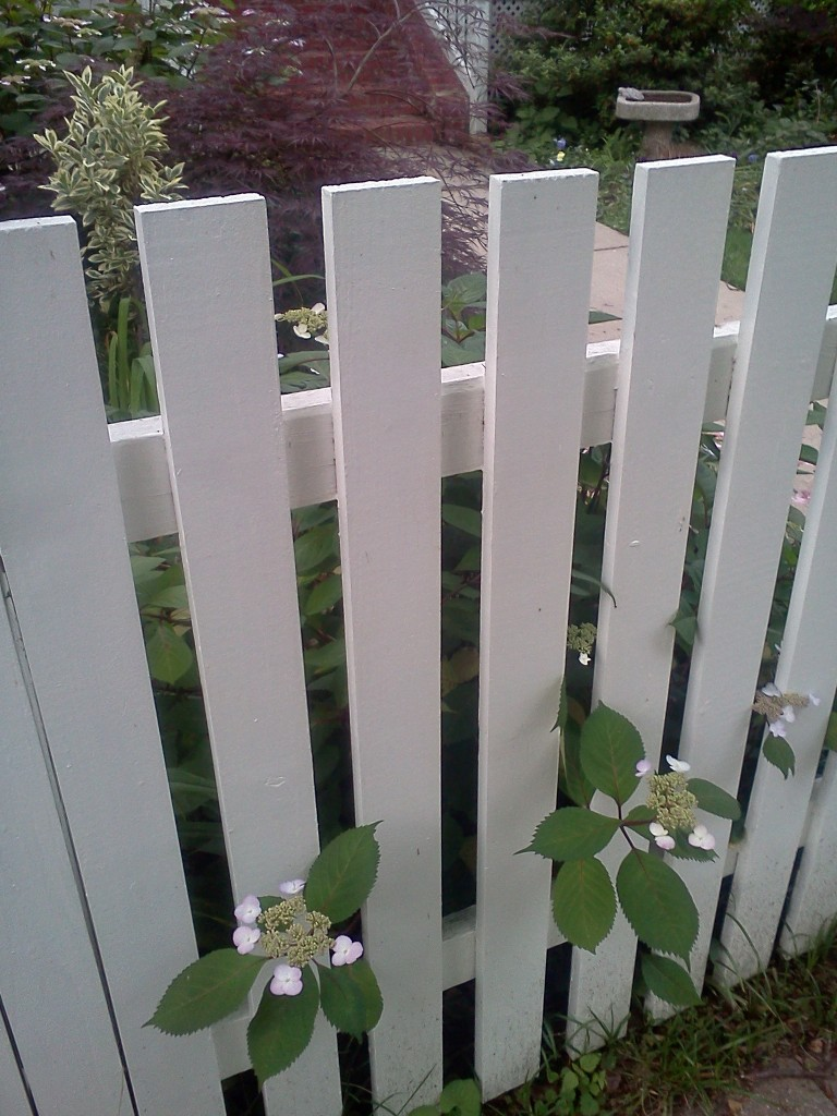 flowers escaping yard through picket fence